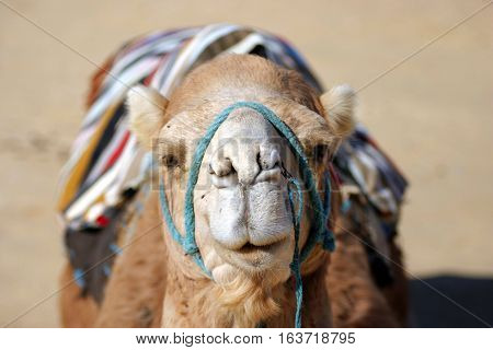 Close up of a domestic camel when lying on the ground in the sahara. Camel looking towards to camera in the oasis