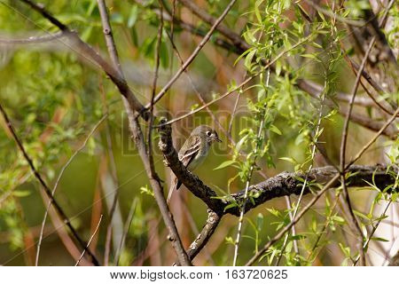 A Yellow-bellied Flycatcher sits in a tree. These Tyrant Flycatchers pass through Iowa during migration.