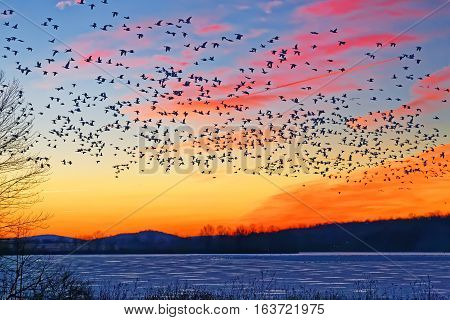 Thousands of migrating Snow Geese ( Chen caerulescens ) fly over a frozen lake at sunrise in Lancaster County Pennsylvania USA.
