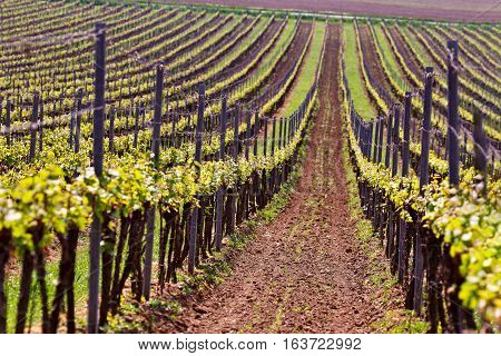 Rows Of Vineyard Grape Vines. Spring Landscape With Green Vineyards.