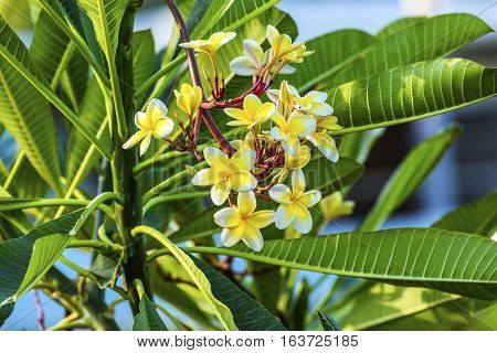 Plumeria Frangipini Blossums Flowers Sea of Galilee Israel. Used to make flower leis in Hawai also used to produce perfume because of fragarance