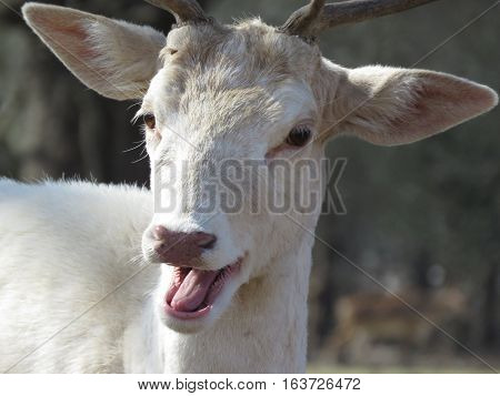 A white deer portrait with nature background