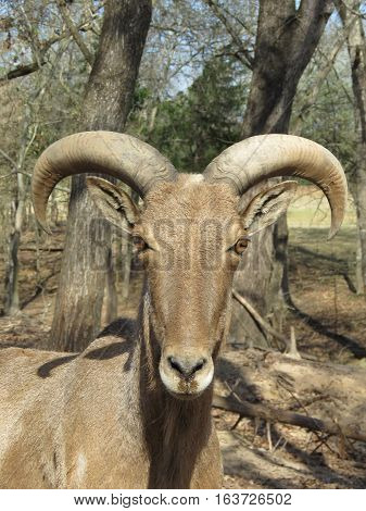 big horn sheep image in a forest background