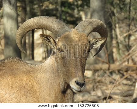 A close up goat image with nature background
