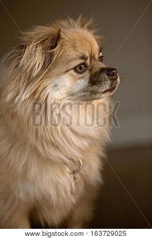 Portrait of long haired brown dog with brown eyes looking out a window