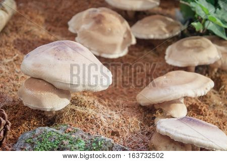 Raw fresh Shiitake mushrooms for display, stock photo