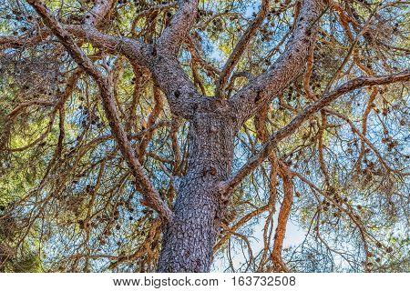 Treetop of the pine tree on beautiful sunny day, Sibenik Croatia.