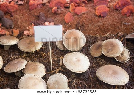 Fresh portobello mushrooms for display, stock photo