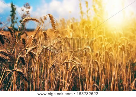 Wheat field rural nature scenery under shining sunlight.