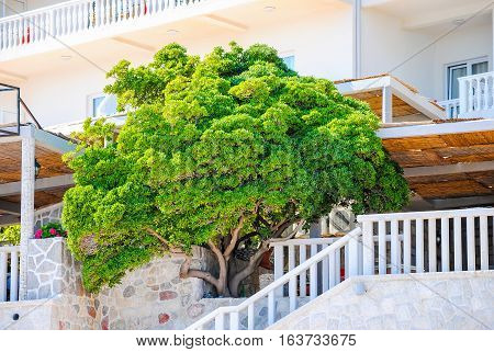 Large magnificent tree grows in Montenegro restaurants.