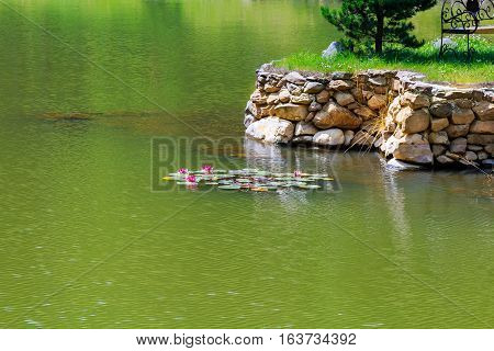 Pink water lily flower blossom in the lake summertime lilies floating in lake