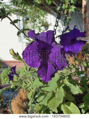 Flowers petunia in the garden, Siberia Omsk region Russia