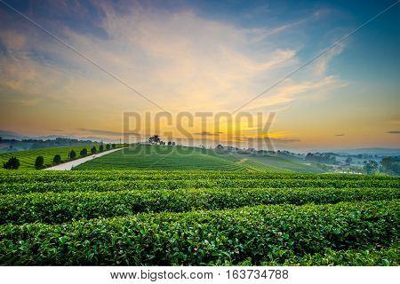 Sunset View Of Tea Plantation Landscape At Chiang Rai, Thailand.