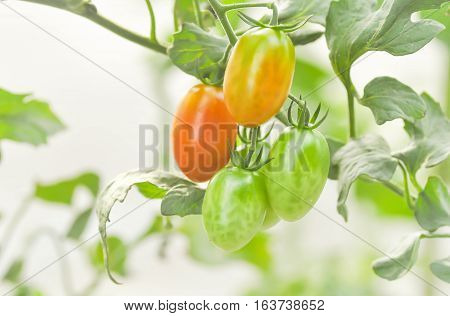 fresh tomato plant in the vegetable garden