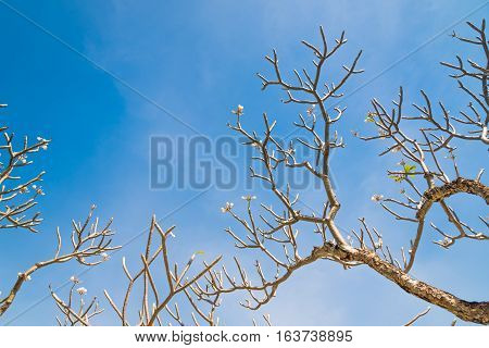 Frangipani tree without leaf on sky background.(Filter effect used)