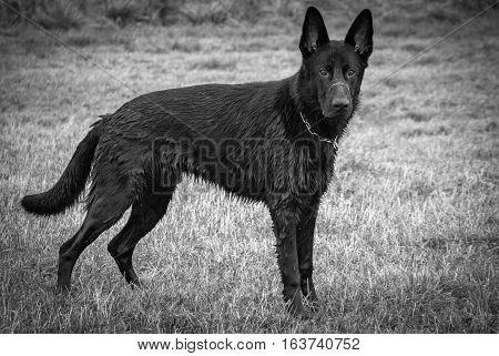 The black German Shephard. Shot in Denmark