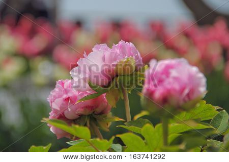 Beautiful peony grows in a small park