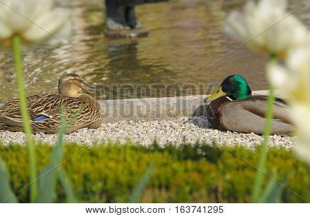Two cute duck sitting near the fountain