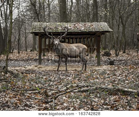 The deer in the forest. Shot in Denmark