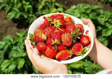 Ripe Red Wild Strawberry In A Plate Against