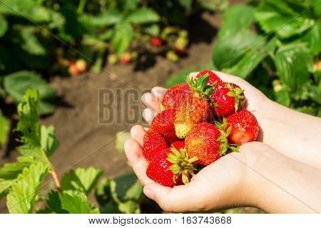 Ripe red strawberry in a hands the background of a green grass