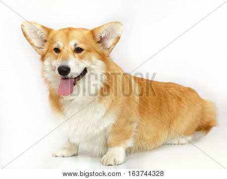 Funny corgi Pembroke, Welsh Corgi on the studio in the white background, isolated
