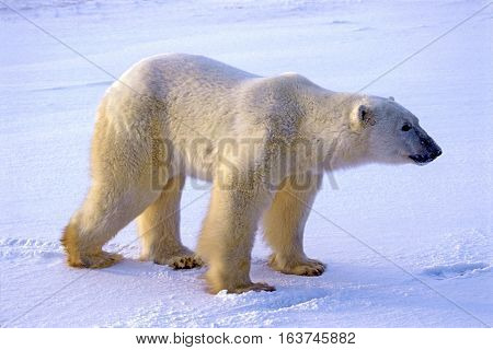 Big Polar Bear walking on tundra watching alert Hudson Bay Canada