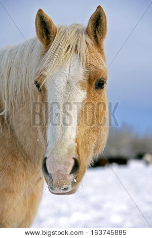 Palomino Quarter horse in winter pasture  Head close up