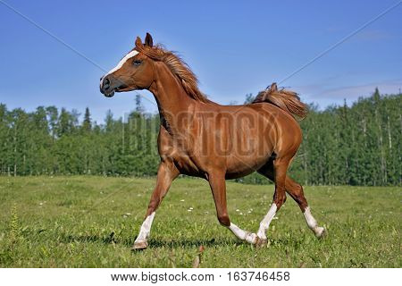 Beautiful Chestnut Arabian Mare trotting in meadow