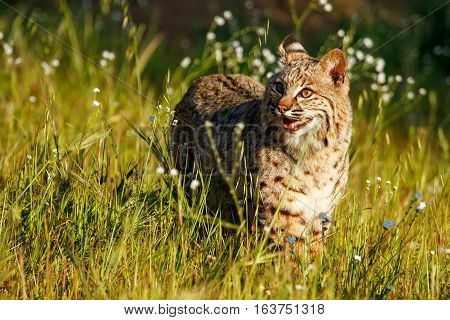 Bobcat Standing In A Grass With Flowers