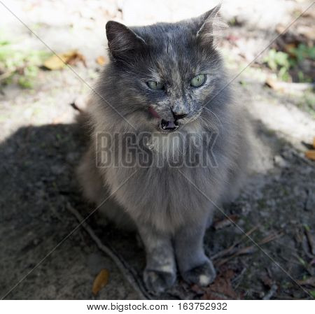 Hungry, collarless, grey cat licking her lips