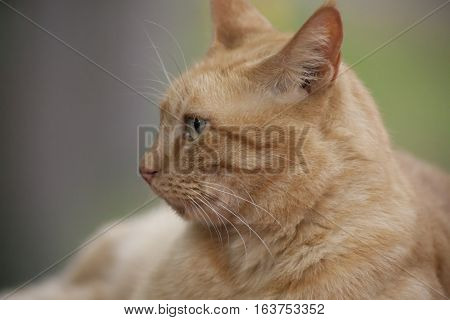 Yellow tabby cat resting outdoors without a collar
