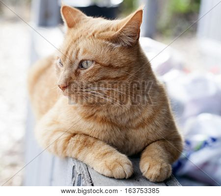 Yellow tabby cat lying on a porch rail