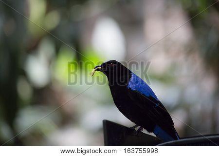 Asian fairy bluebird (Irena puella) eating a grub