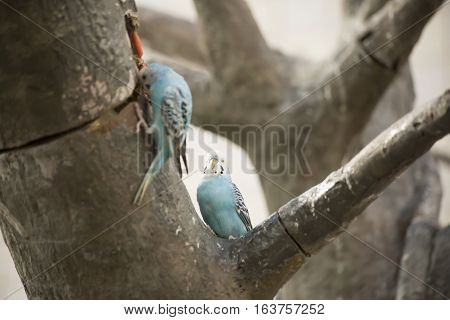 Budgies In A Tree