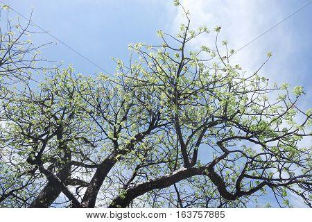 Flowering Baobab