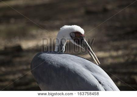 Close up of a sandhill crane (Antigone canadensis) grooming
