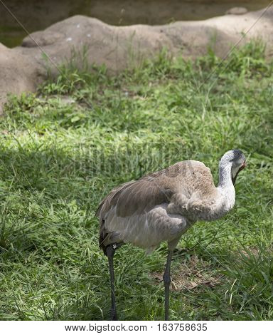 Sandhill crane (Antigone canadensis) grooming in the Louisiana spring