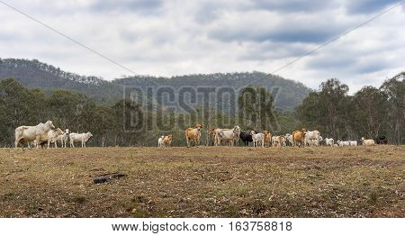 Australian Beef Cattle Farm