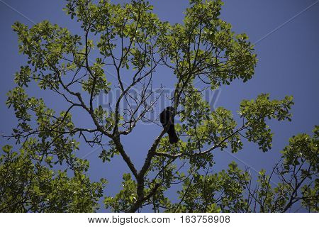 Crow in the branch of a lush, green tree