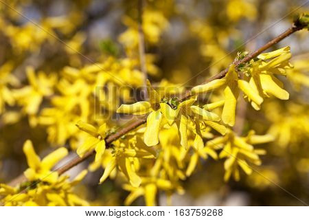 Yellow spring flowers of Forsythia in the garden