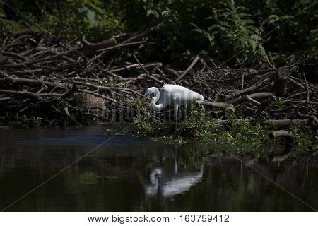 Great egret (Ardea alba) fishing in a lake