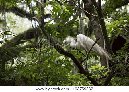 Great egret hunting insects in a tree