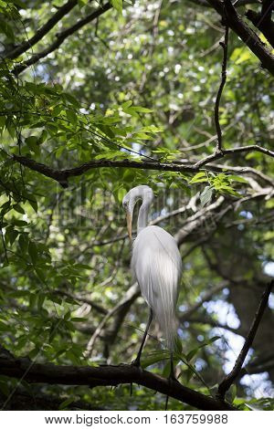 Greater egret in a lush, green tree