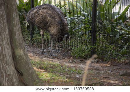 Emu (Dromaius novaehollandiae) in a fenced in area