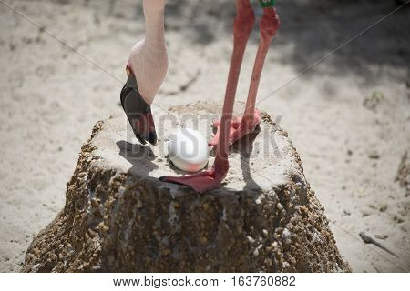 Close up of lesser flamingo guarding eggs