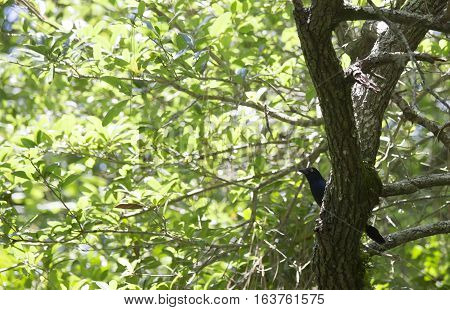Common grackle in a lush, green tree
