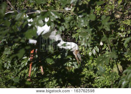 Maguari stork (Ciconia maguari) hunting in thick foliage