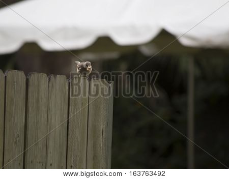 Northern mockingbird (Mimus polyglottos) on a wooden fence