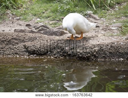 American Pekin duck grooming on a pond shore
